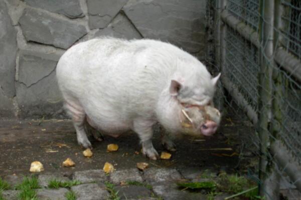 hängebauchschweine bilder ausdrucken